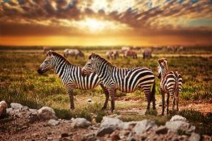Fingerspitzengefühl bei Naturfotografie: Zebras in der Wildnis